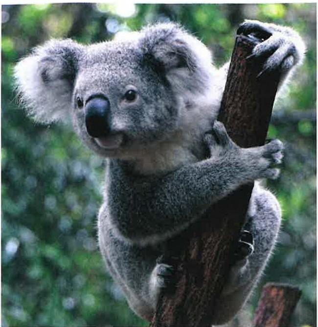 Koalanın Okaliptüs Ağacıyla Muhteşem Uyumu
