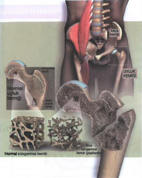 İktisat Prensibi Bakımından Kemiklerin Yapısı