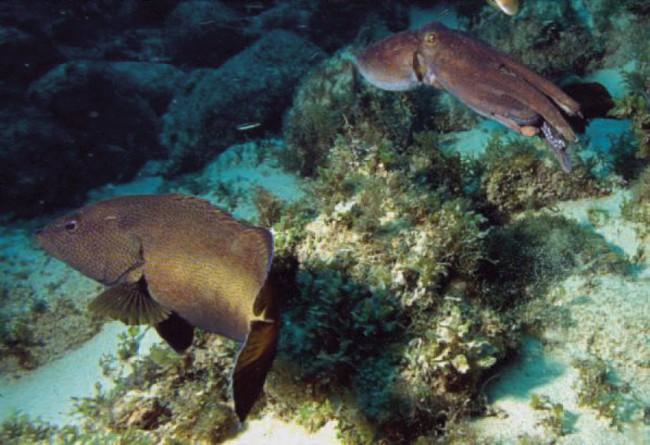 Ahtapotlarda Mimikri