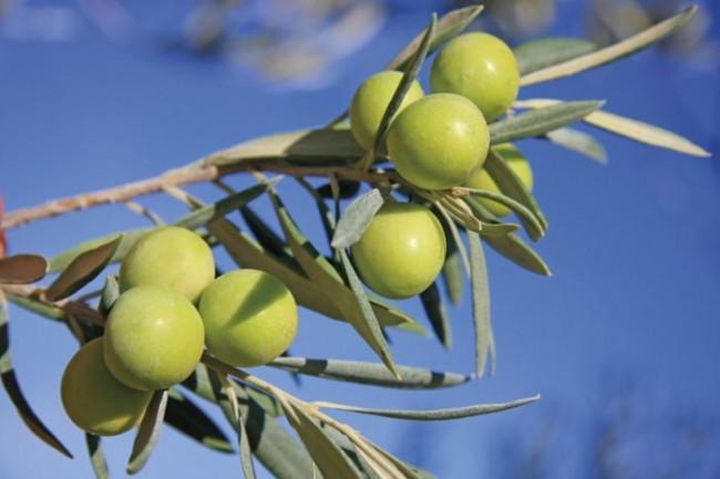 Allahın Dikkatimizi Çektiği Meyve: Zeytin
