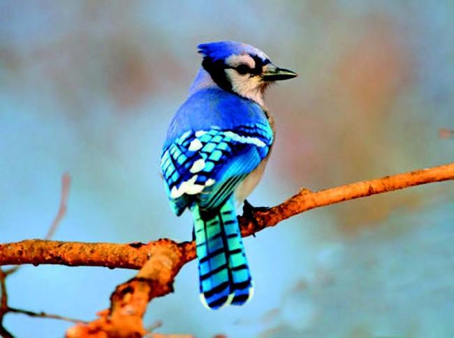Kuşların Renkleri Neden Solmaz?