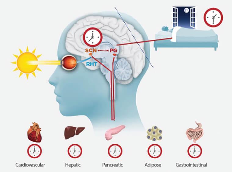 Bedenin ritmi: Biyolojik saat nedir?