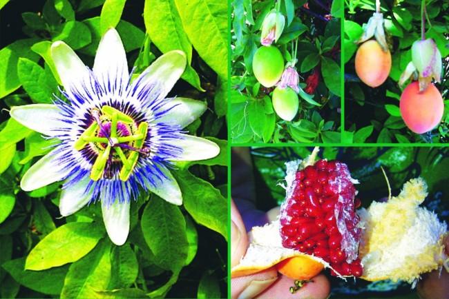 Çarkıfelek (Passiflora) Çiçeğindeki Şifa ve Muhteşem Sanat