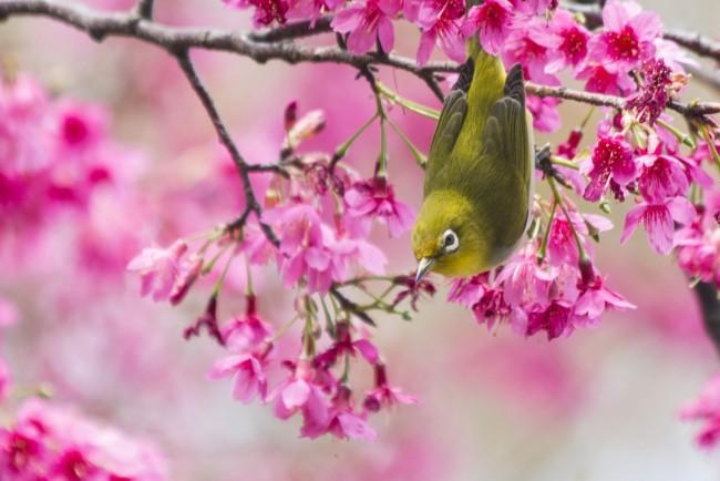 Sakura Haberleri