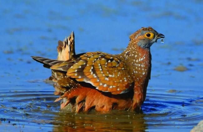 Çöl Tavukları Yavrularına Nasıl Su Taşıyor?