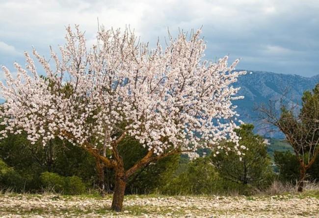 Baharın Müjdecisi Melek Gibi Badem Ağaçları