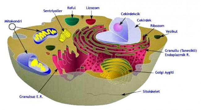 Annemizden Aldığımız Hediye / Enerji Kaynağımız Mitokondri