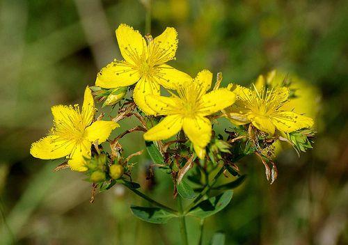 Sordum Sarı Çiçeğe Derde Derman Sende midir?
