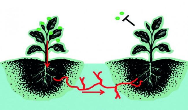 Bitkiler Aralarında Nasıl Haberleşir?
