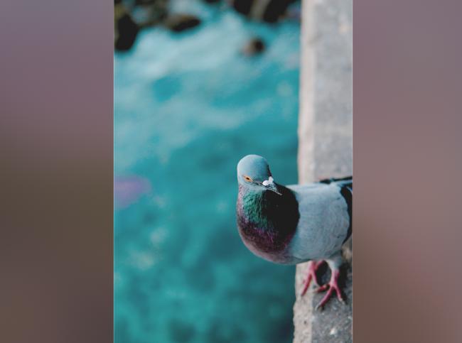 Bu Güvercin Neden Böyle?