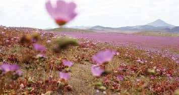Çiçek Açan Çöl